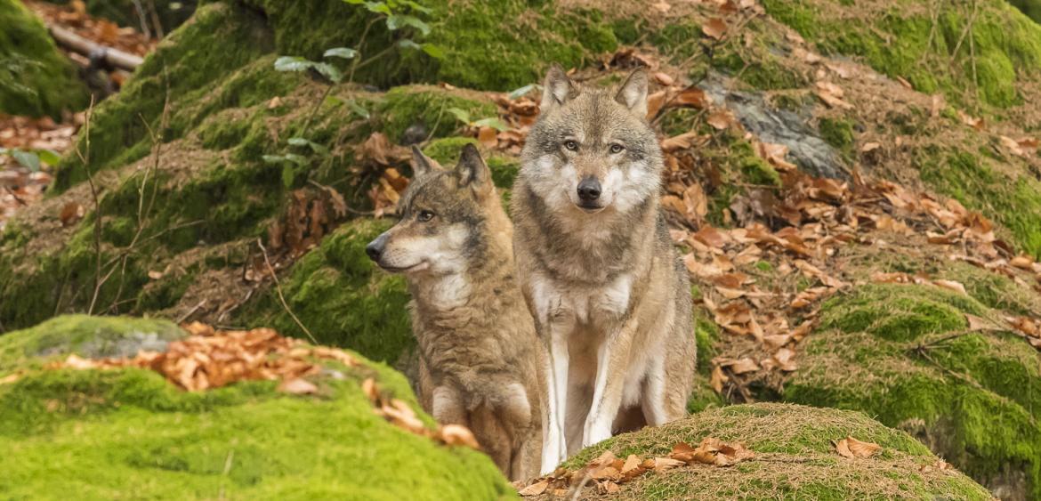 Grey Wolf / Wolf (Canis lupus)